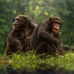 Chimpanzee Facts For Kids – Animal That Starts With Letter C