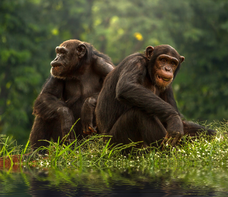 Chimpanzee Facts For Kids