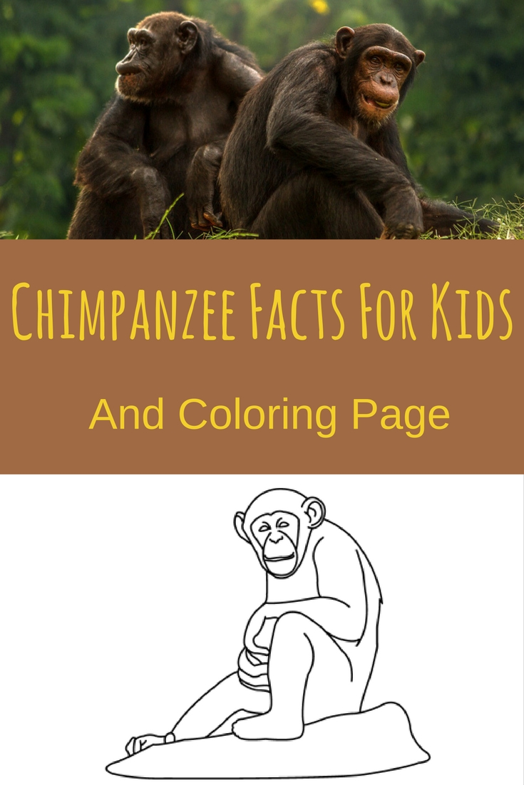 Chimpanzee Facts