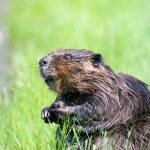 North American Beaver Facts –  Animal That Starts With Letter B