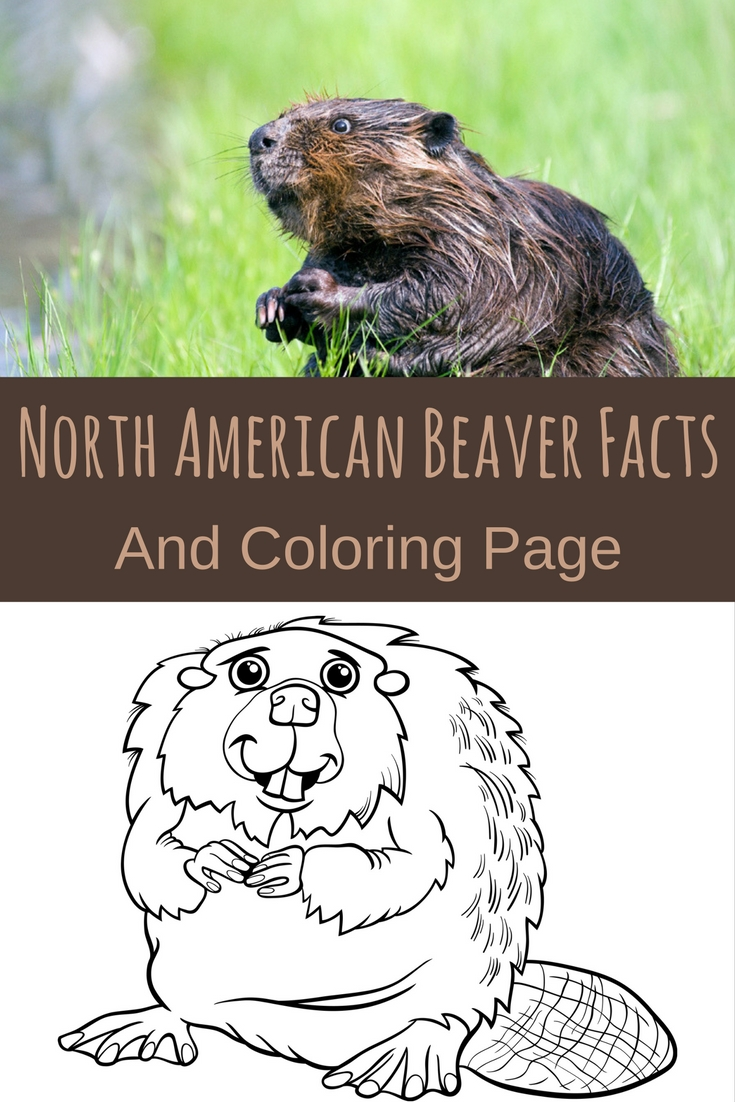Fun way yo teach your little one letter B! North American beaver facts and coloring page