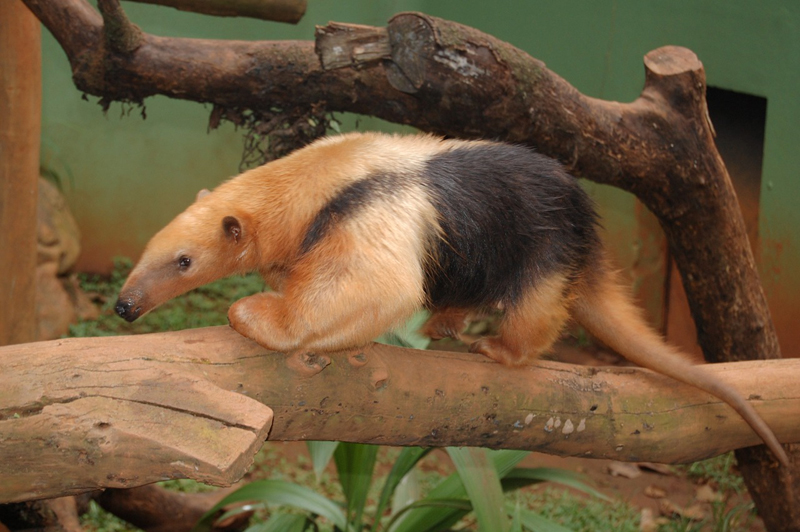 Teach kids about anteater facts: where they live, what they eat, their habitat and more