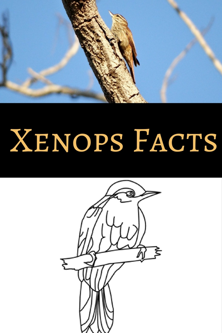 Learn about xenops with these fun facts and coloring page