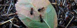 Red wood ants busy at work