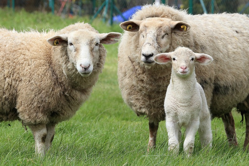 Two wool sheep and a lamb